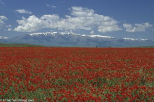 kazakhstan_paysage_steppe_coquelicot