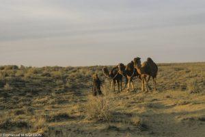 ouzbekistan_desert_soir_chamelle