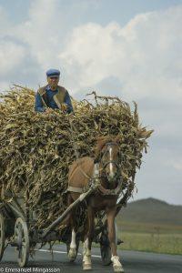 Roumanie, charette de maïs tirée par un cheval