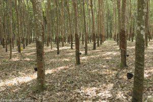 thailande_arbre_hevea