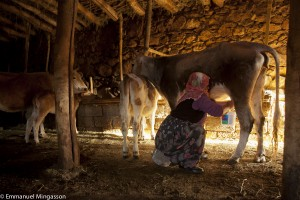 Lait de vache, de brebis, de chèvre, de jument, de yack ou de chamelle, l'histoire des transformations laitières commence par la traite. Turquie, 2013