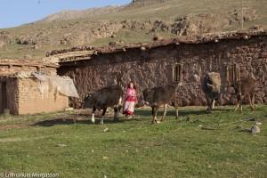 turquie_kurdistan_van_vache_lait