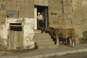 La vache, retour au bercail à Güzelyurt