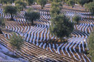 Verger d'olivier dans la région de Gaziantep