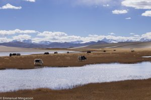 tibet_yack